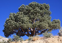 Pinyon Pine Wikipedia