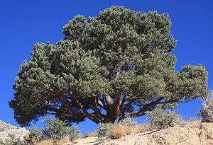 Pinyon pine - A single-leaf pinyon from Mono County, California. The short stature and rounded crown are typical of the pinyon.