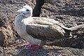 Pisquero patas rojas, Islas Galápagos.jpg