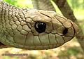 Pituophis melanoleucus mugitus, Florida Pine Snake.jpg
