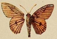 Pl.12-01-Abantis rubra Holland, 1920.JPG