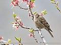 Plain Mountain Finch (Leucosticte nemoricola) (47956973586).jpg