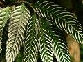 Plant Fern P1120347 06.jpg