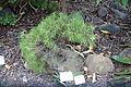 Plantago arborescens - Botanischer Garten, Dresden, Germany - DSC08424.JPG