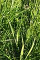 Plantago lanceolata PID1581-1.jpg