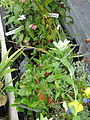 Plants for Sussex Prairies sale (14945839428).jpg
