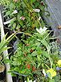 Plants for Sussex Prairies sale (14945839428).jpg