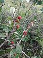 Plants from Ostritsa (17).JPG