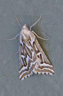 <i>Plataea</i> (moth) genus of insects