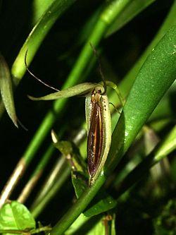 Pleurothallis nuda Orchi 2012-09-21 094.jpg