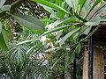 Plumeria alba 0001.jpg