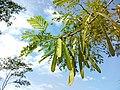 Pohon Lamtoro.jpg
