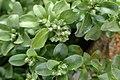 Polycarpon tetraphyllum kz5.jpg