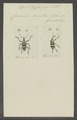 Polyderces - Print - Iconographia Zoologica - Special Collections University of Amsterdam - UBAINV0274 030 03 0013.tif