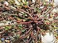 Polygonum oxyspermum subsp. raii plant (04).jpg