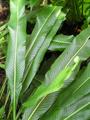 Polypodium crassifolium.png