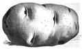 Pomme de terre Van der Veer Vilmorin-Andrieux 1883.png