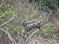 Port St Johns - Rock Hyrax - in a tree - panoramio.jpg