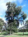 Possible Ulmus davidiana var. japonica. Vanburgh Place, Leith Links, Edinburgh (3).jpg