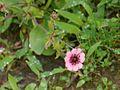 Potentilla nepalensis (7935336526).jpg
