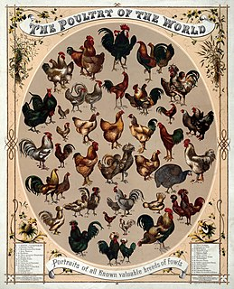 Poultry domesticated birds kept by humans for their eggs, their meat or their feathers. These birds are most typically members of the superorder Galloanserae (fowl), especially the order Galliformes