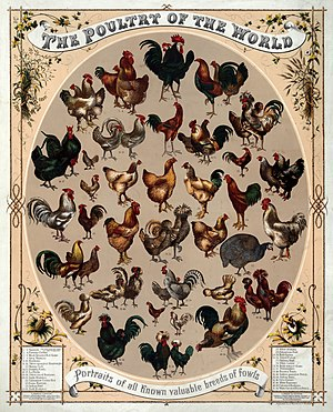 Poultry - Poultry of the World