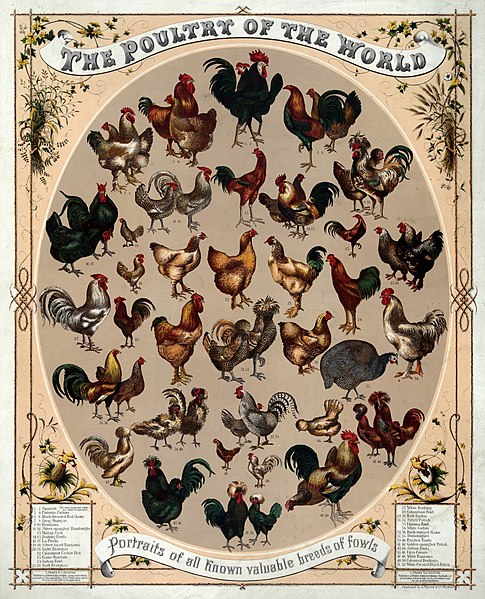 File:Poultry of the world.jpg