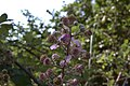 Pouzolles - Rubus fruticosus-004.jpg
