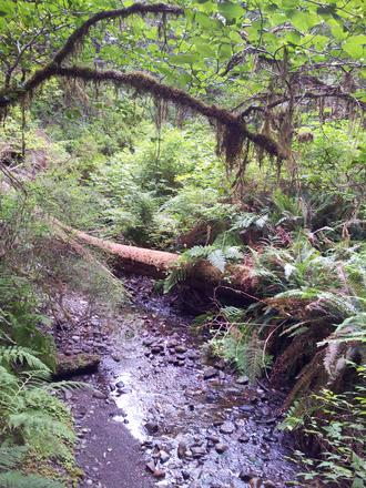 Prairie Creek (California) - Prairie Creek within the aboriginal forest of Prairie Creek Redwoods State Park is shaded by an overstory of towering redwoods, an understory of riparian hardwoods, and the ferns and mosses of fallen trees on the forest floor.