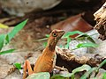 Pregnant Sri Lankan Kangaroo lizard.jpg