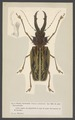 Prionus - Print - Iconographia Zoologica - Special Collections University of Amsterdam - UBAINV0274 001 10 0003.tif