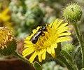 Probably Ceratina species (32629055522).jpg