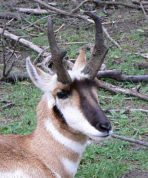 Pronghorn - Head of an adult male