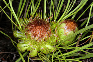 <i>Protea angustata</i> Species of flowering plant in the family Proteaceae
