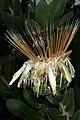 Protea aurea subsp. potbergensis 0280.jpg