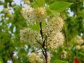 Prunus Maackii B.jpg