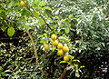 Prunus cerasifera ukr. - alycha ukraine 08-2008.jpg