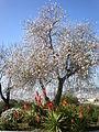 Prunus dulcis 4c.JPG