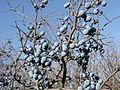 Prunus stepposa (fruits) 2.jpg