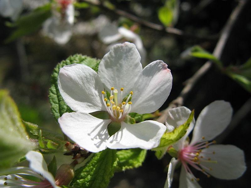 fleur du prunus tomentosa ou ragouminier