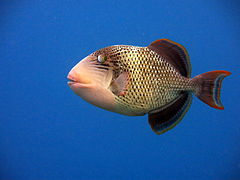 Yellowmargin triggerfish (Pseudobalistes flavimarginatus)
