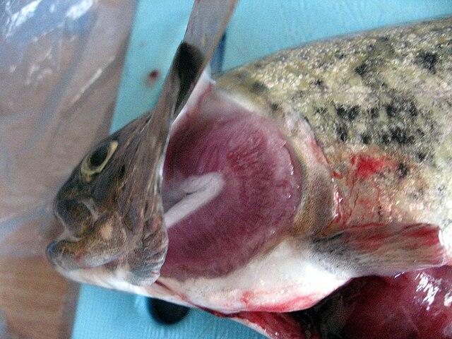 Fiskens gälar sitter bakom gällocket.