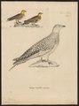 Pterocles senegallus - 1700-1880 - Print - Iconographia Zoologica - Special Collections University of Amsterdam - UBA01 IZ16900049.tif