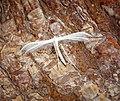 Pterophorus pentadactyla (42463727330).jpg