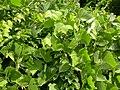 Pueraria montana lobata (5181913685).jpg