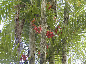 Pfirsichpalme (Bactris gasipaes)