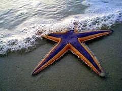 Purple and Orange Starfish on the Beach (2884079538).jpg