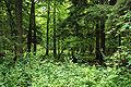 Puszcza białowieska fragmenty rezerwatu ścisłego.JPG