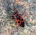 Pyrrhocoris apterus.JPG