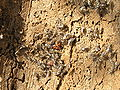 Pyrrhocoris apterus 1 beentree.jpg